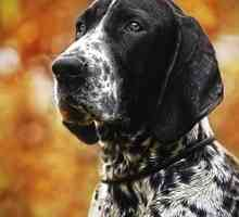 O coonhound bluetick